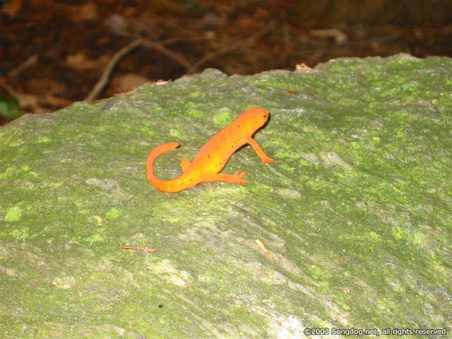 Newt On The Rocks