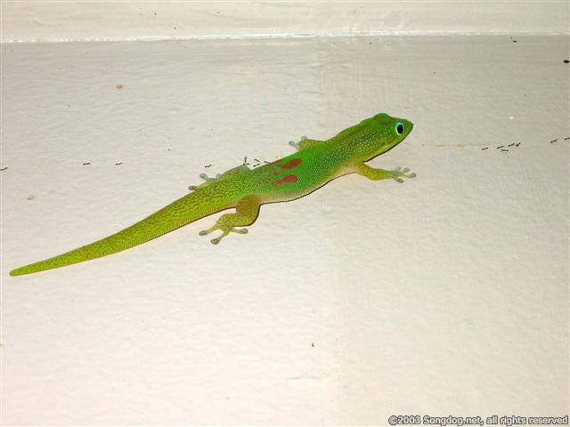 Guardian Gecko