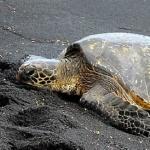 Black Sand Tortoise